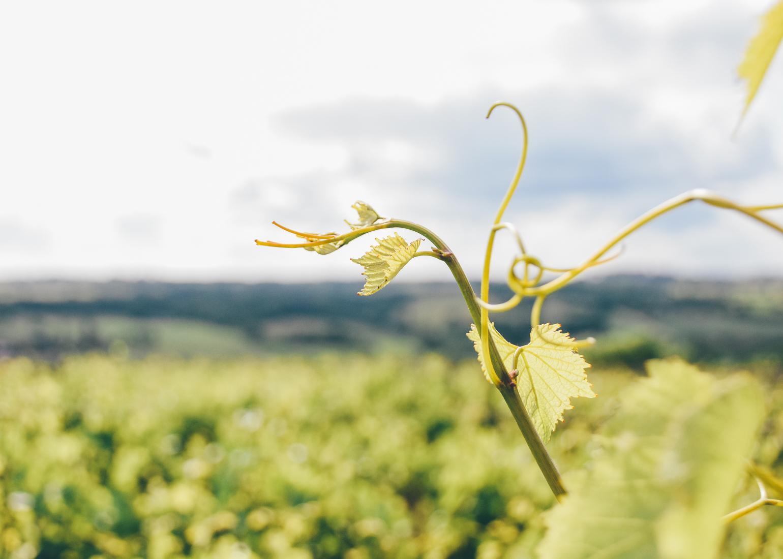Leaf - Vins des Côtes de Gascogne